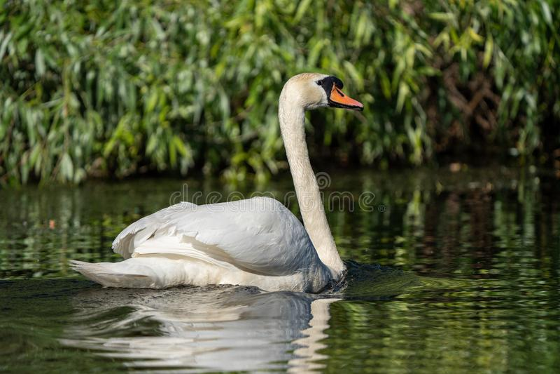 Stodde Zwaan in de Delta van Donau stock foto's