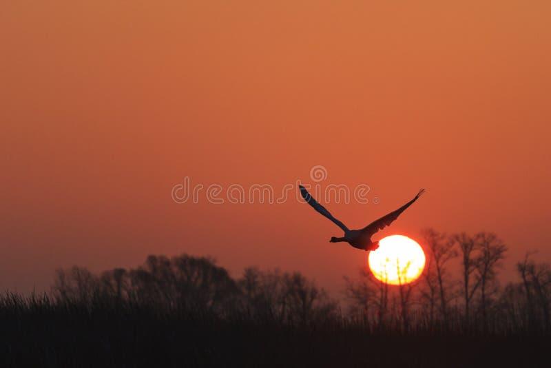 Stodde zwaan die bij zonsopgang over de lentemeer vliegen royalty-vrije stock fotografie