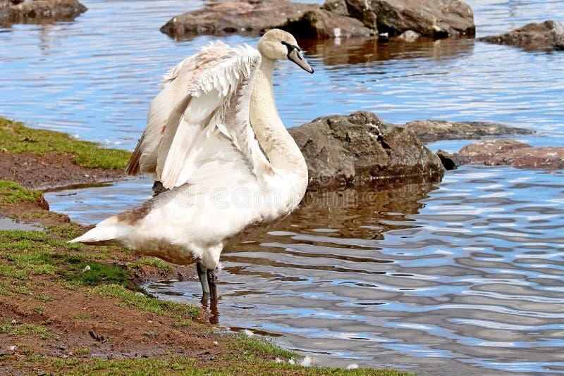 Stodde zwaan die zijn vleugels uitrekken royalty-vrije stock foto's