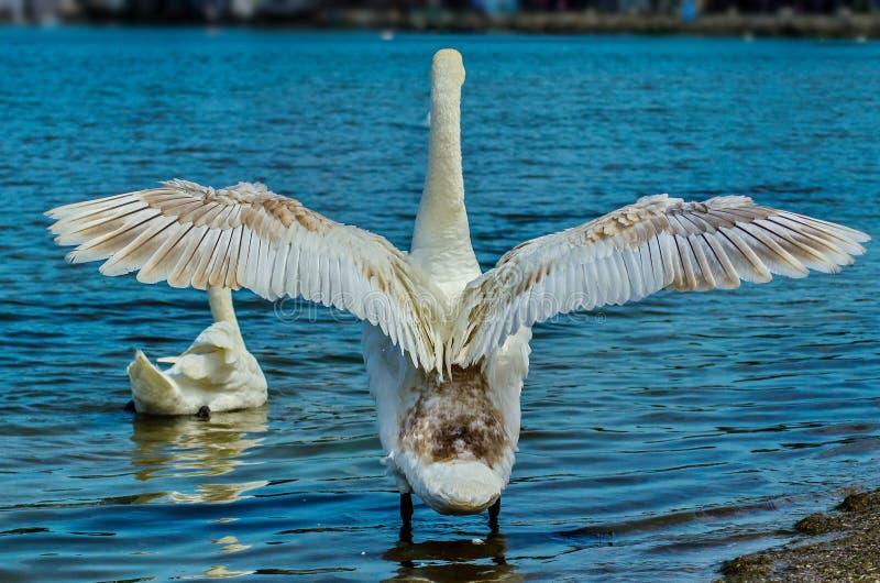 Stodde zwaan - een vogel van de familie van eenden Shypoon wordt genoemd wegens het geluid, bij irritatie wordt gepubliceerd die stock afbeeldingen