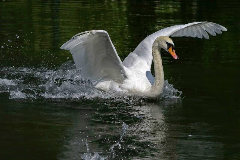 Stodde zwaan Lat Cygnusolor - een vogel van de familie van eenden Shypun wordt genoemd wegens het geluid, bij irritatie wordt gep stock foto's