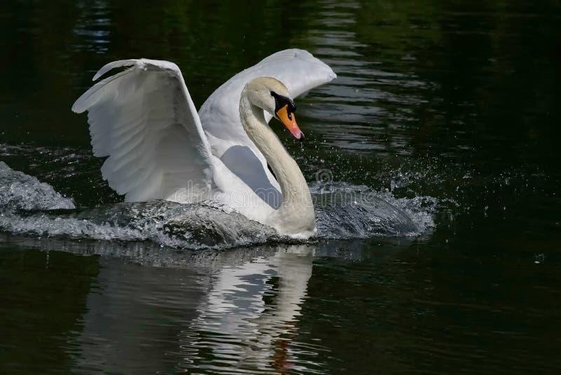 Stodde zwaan Lat Cygnusolor - een vogel van de familie van eenden Shypun wordt genoemd wegens het geluid, bij irritatie wordt gep royalty-vrije stock fotografie