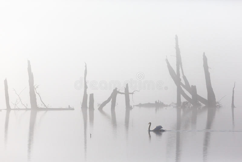 Stodde zwaan in mist royalty-vrije stock foto's
