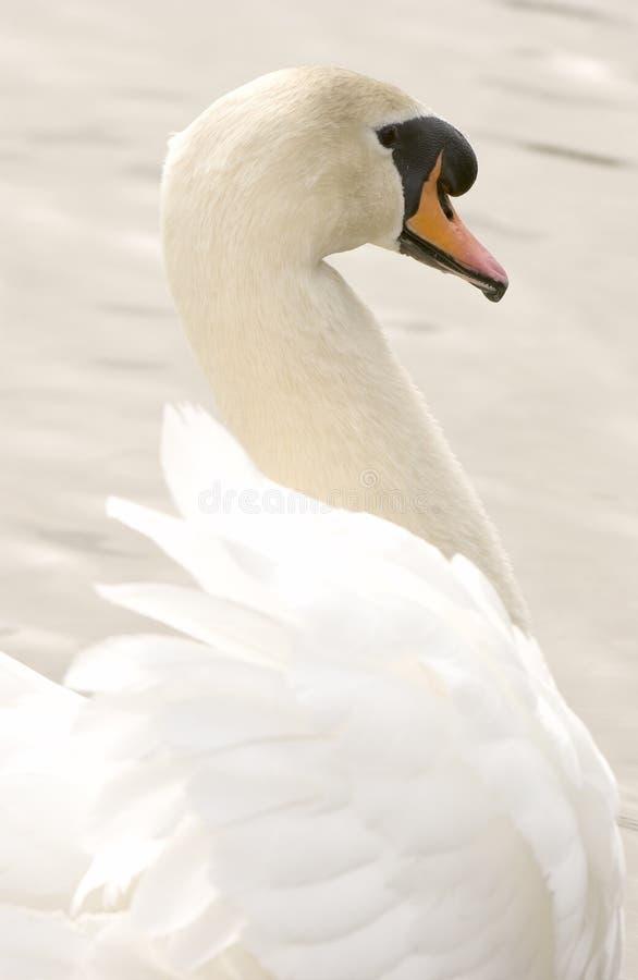 Stodde Zwaan (olor Cygnus) royalty-vrije stock fotografie