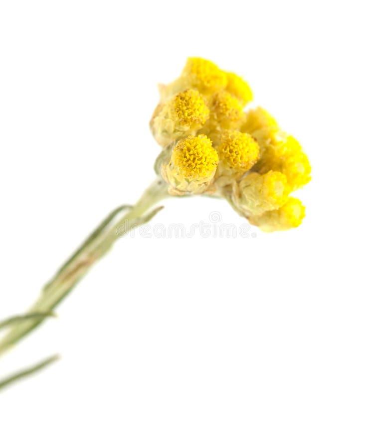 Stoechas do Helichrysum isolados foto de stock