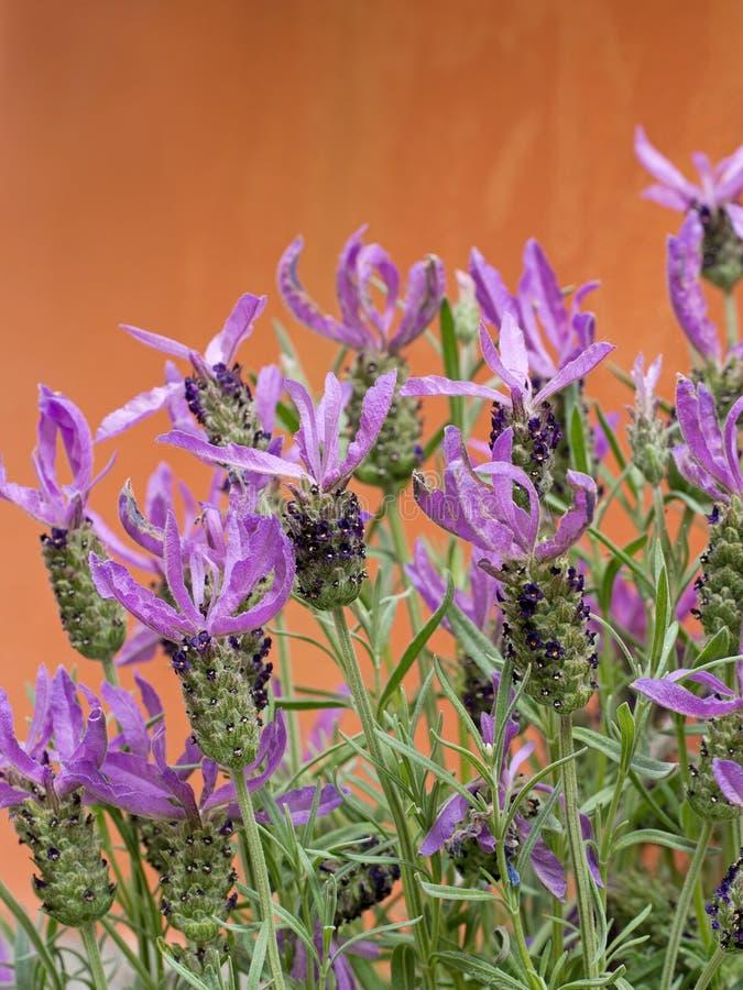 Stoechas Lavandula, γαλλικό lavender στοκ φωτογραφίες με δικαίωμα ελεύθερης χρήσης