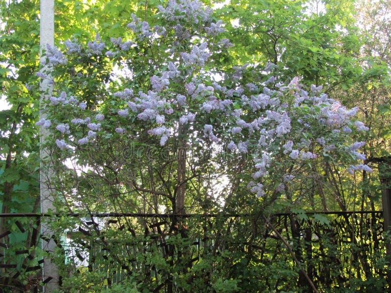 Stoff und zarte Flieder im Garten stockfotografie
