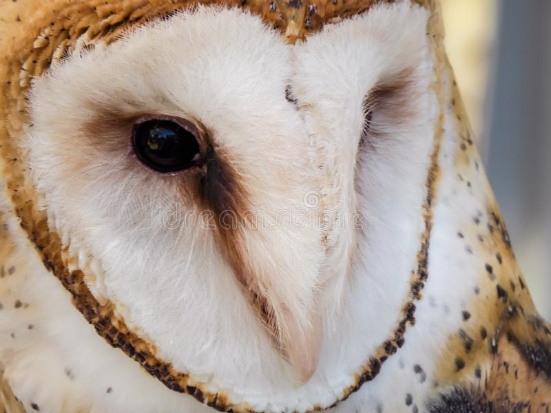 Stoic Barn Owl. The barn owl Tyto alba is the most widely distributed species of owl and one of the most widespread of all birds. It is also referred to as the stock photo