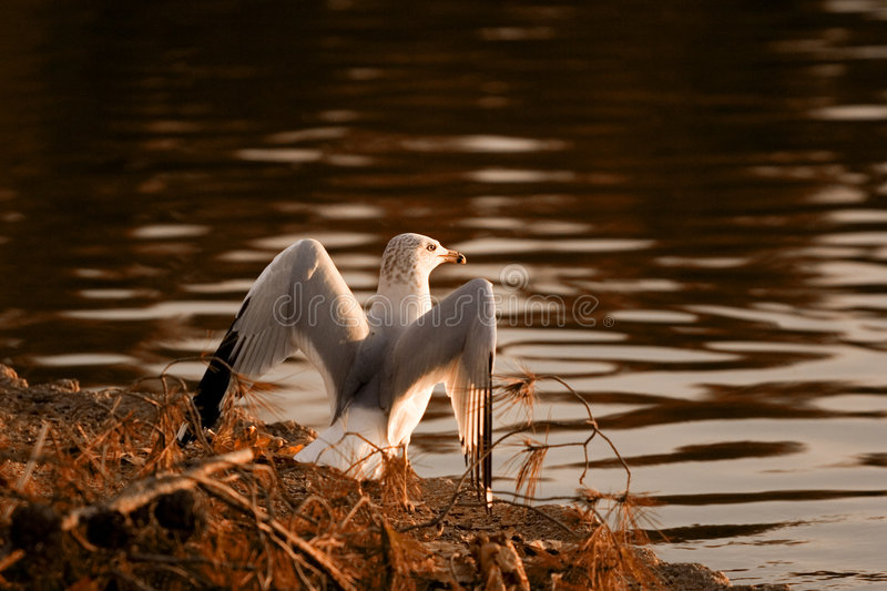Stoic bird. A bird spreads its wings while overlooking a pond royalty free stock photos