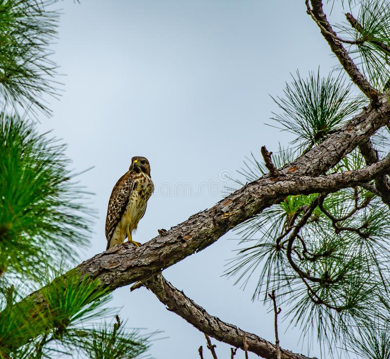 Stoic Hawk. A close up of a red shouldered hawk posing stoically in a Florida pine tree stock photos