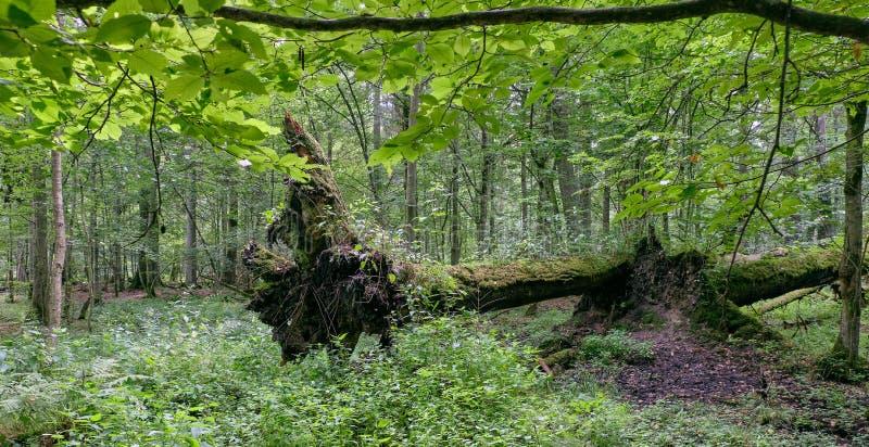Stojak liściasty z dwiema połamanymi dębowymi drzewami leżącymi obrazy stock