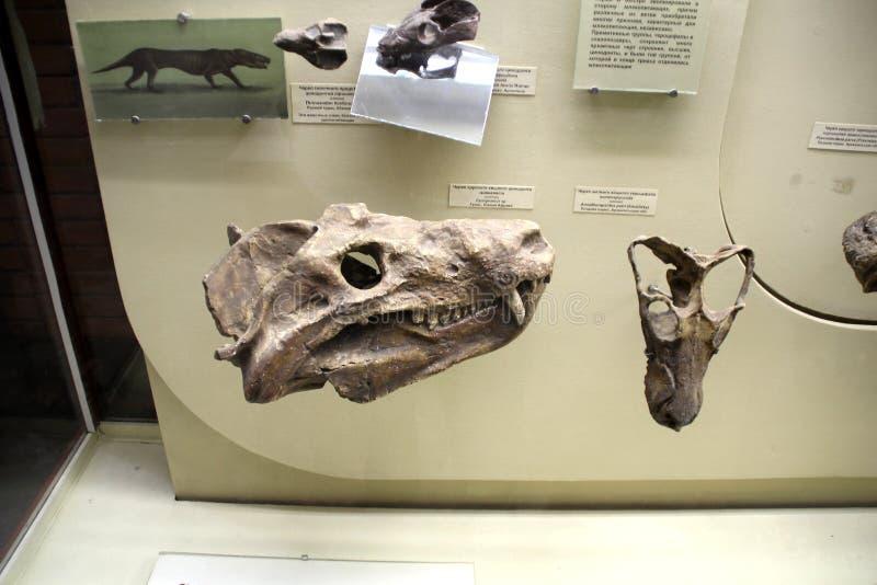Stojak z czaszką drapieżczy Cynodont Cynognathus zdjęcia royalty free