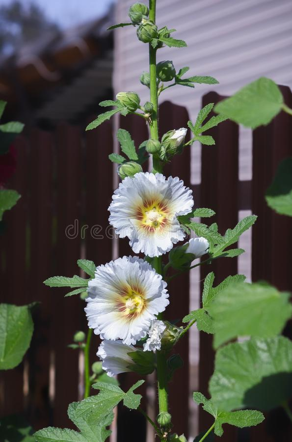 Stokroos of Malva Flower In The Garden-Close-up royalty-vrije stock foto