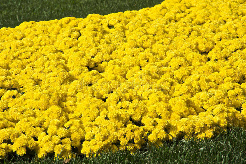 stokrotek gerbera kolor żółty zdjęcia stock