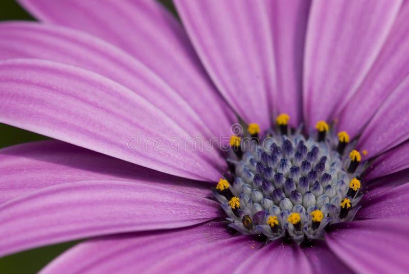 stokrotek purpury zdjęcie royalty free