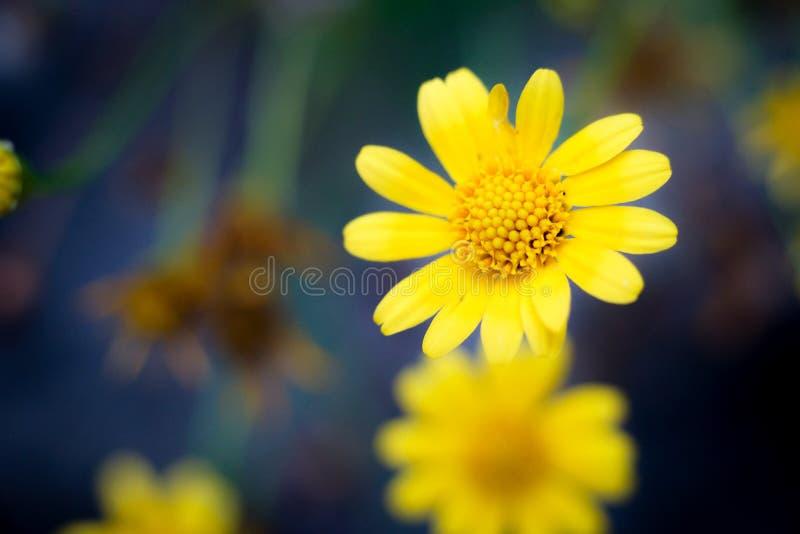 Stokrotka żółty kwiat obrazy stock