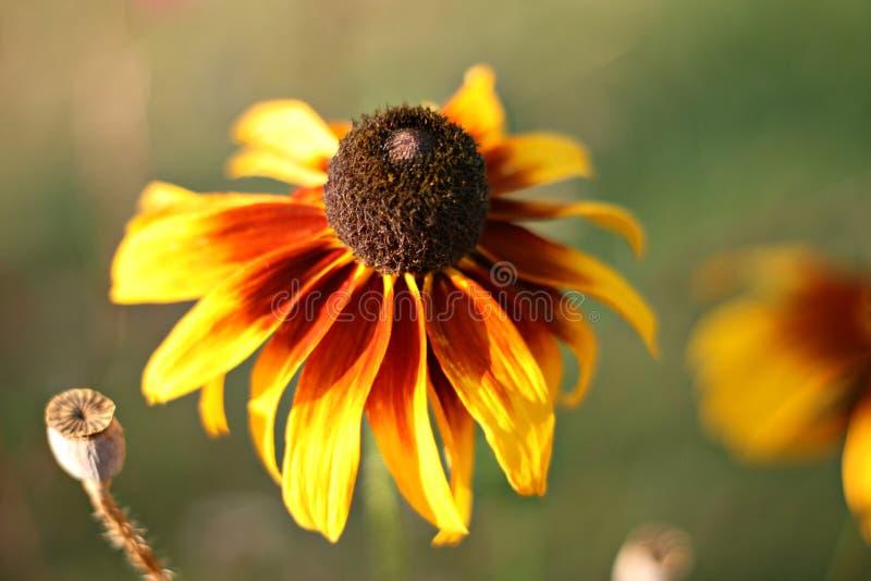 Stokrotka żółty kwiat obraz royalty free