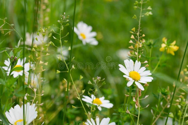 Stokrotka biali kwiaty makro- zdjęcie stock