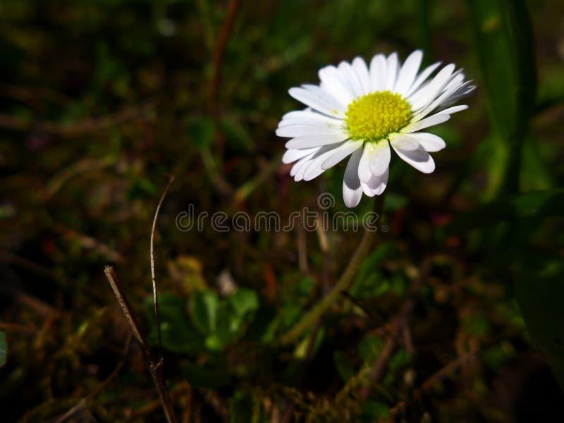 Stokrotka - biel zdjęcie stock