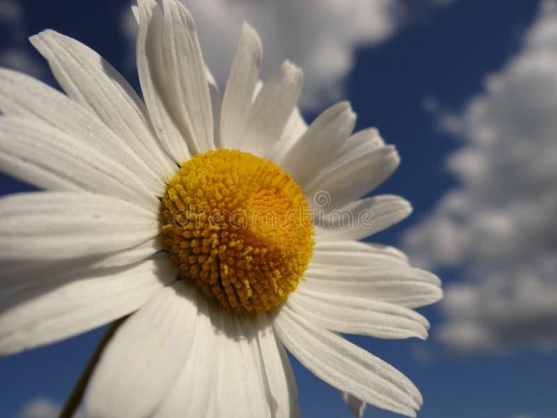 Stokrotka jest jak chmura i słońce w niebie fotografia stock