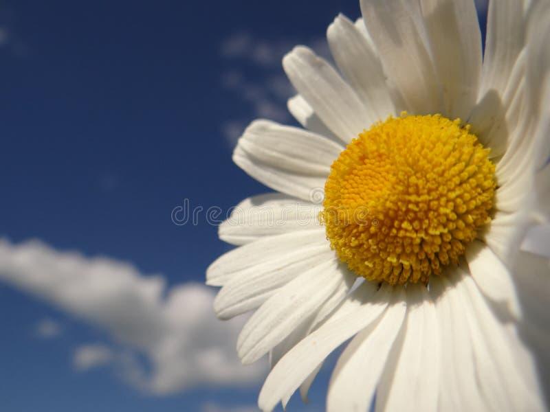 Stokrotka jest jak chmura i słońce w niebie obrazy royalty free