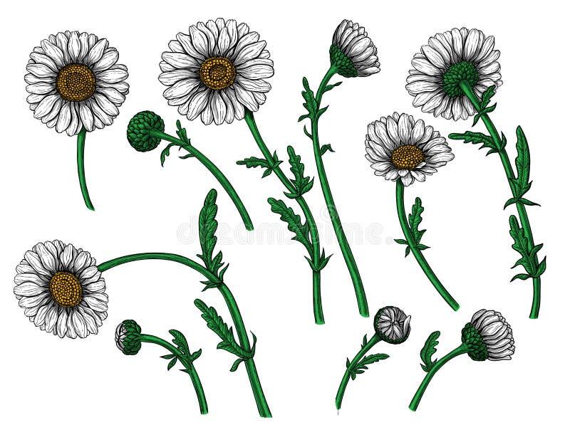 Stokrotka kwiat ilustracja wektor