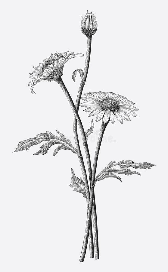 Stokrotka kwiatów ręki rocznika rysunkowy styl odizolowywa na białym backgr royalty ilustracja
