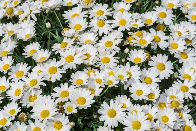Stokrotka kwiat na łące w wiośnie obraz royalty free