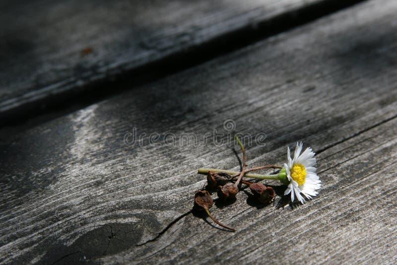 Stokrotka kwiat na drewnie zdjęcia stock