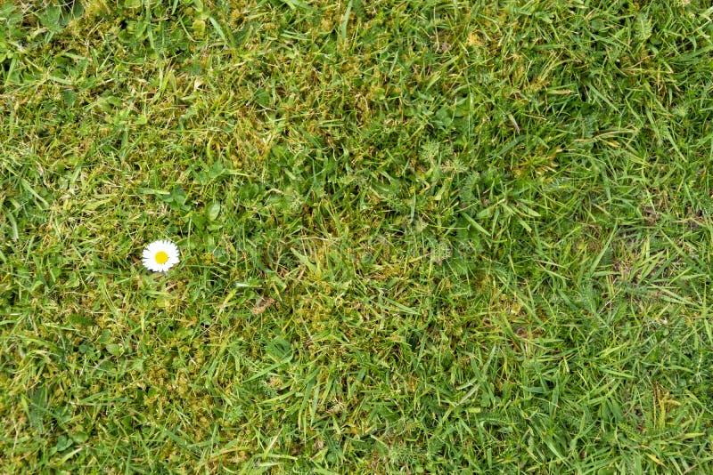 Stokrotka kwiat na zielonej trawie zdjęcie stock