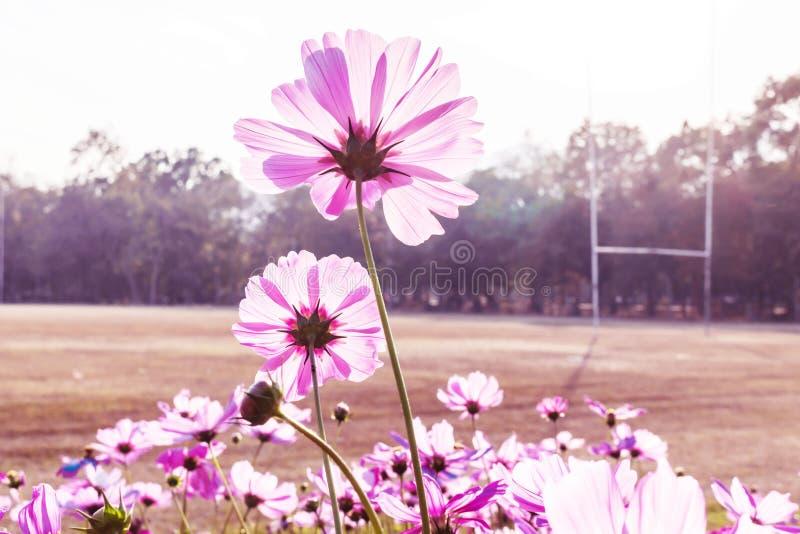 Stokrotka kwiat przeciw niebieskiemu niebu, obrazy stock
