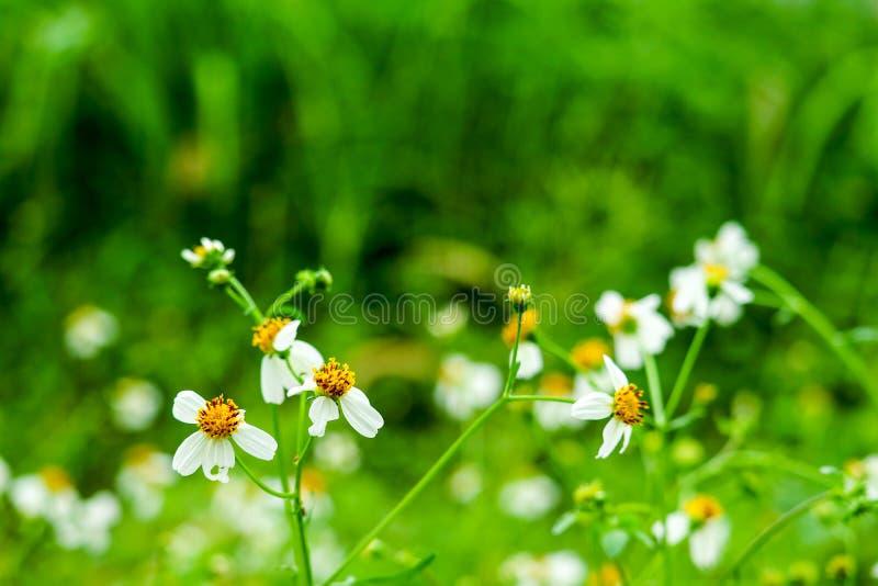 stokrotka kwiat spadać ponieważ pogodowy zmienia w lato zdjęcia royalty free