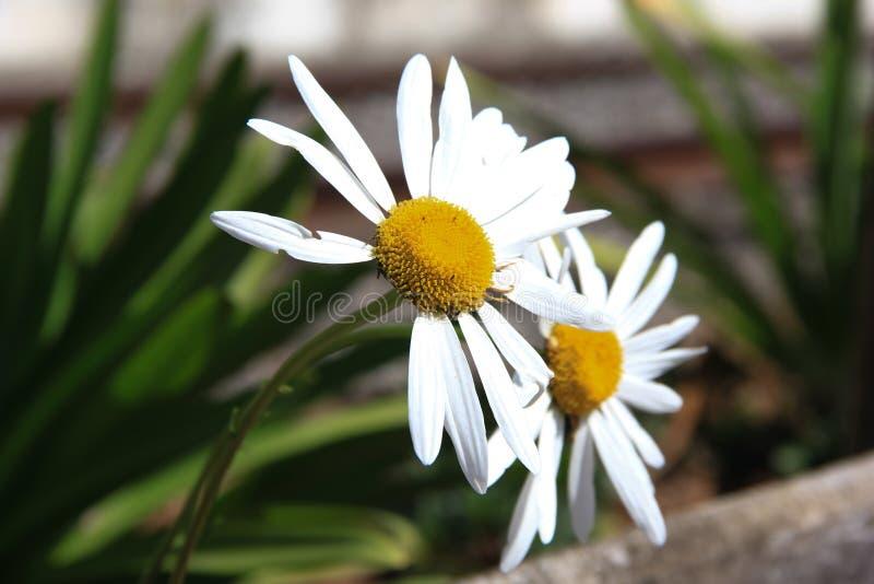 Stokrotka kwiat z białymi płatkami w ogródzie obraz stock