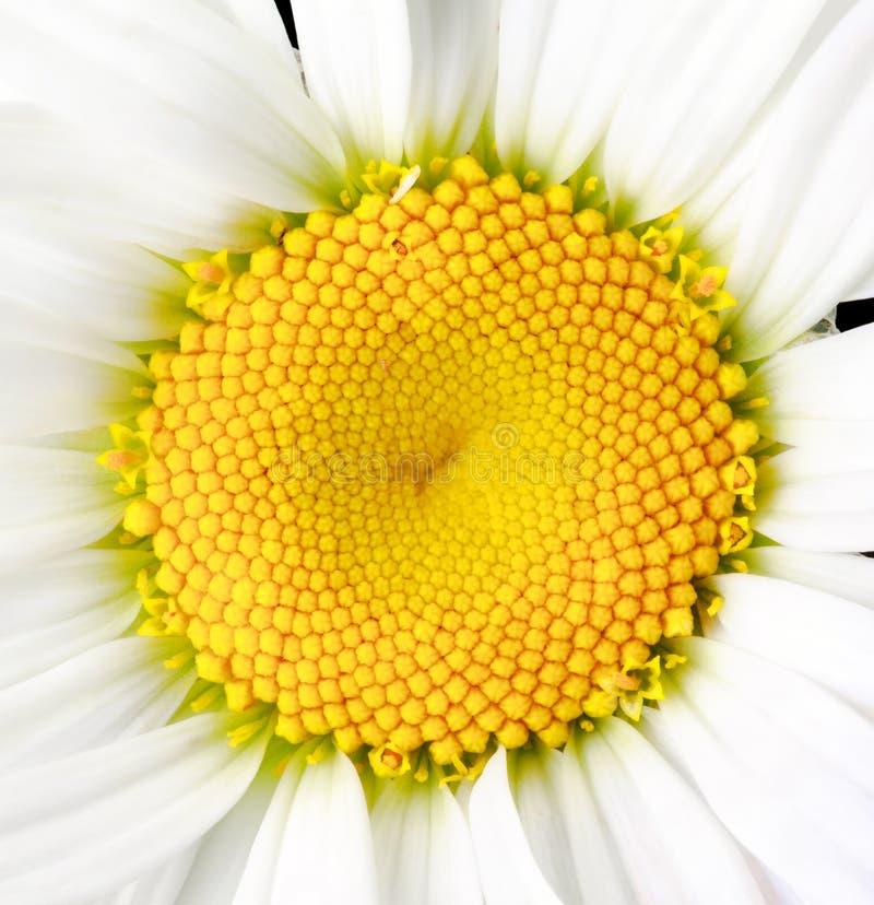 Stokrotka kwiatu głowa obraz royalty free