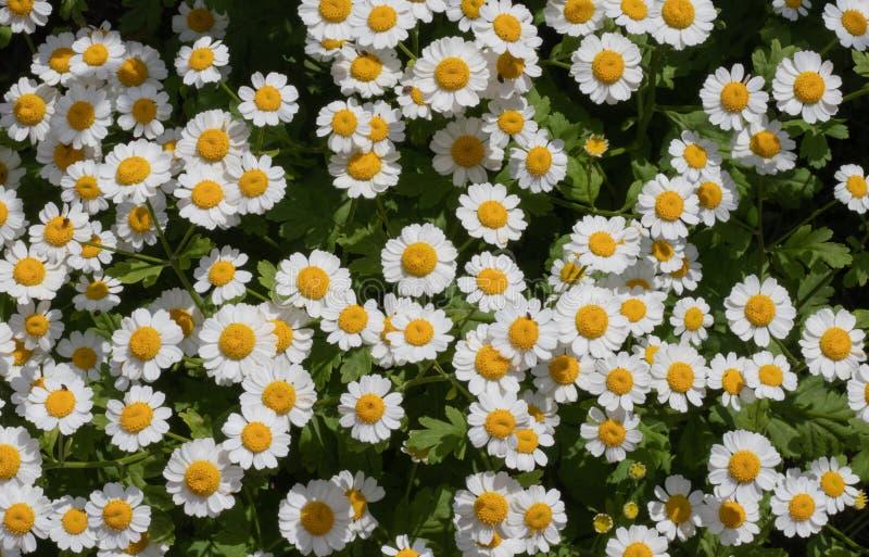 Stokrotka kwiaty dużo pięknie strzelali fotografia royalty free