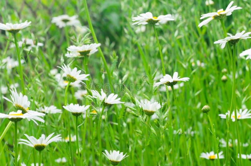 stokrotka kwitnie biel obraz stock