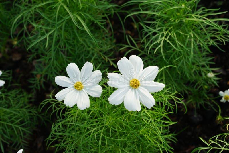 stokrotka kwitnie biel zdjęcie royalty free