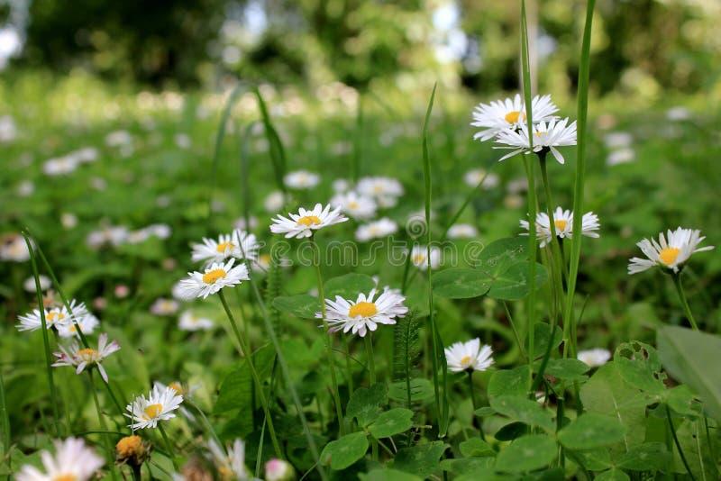 Stokrotka mali kwiaty fotografia stock