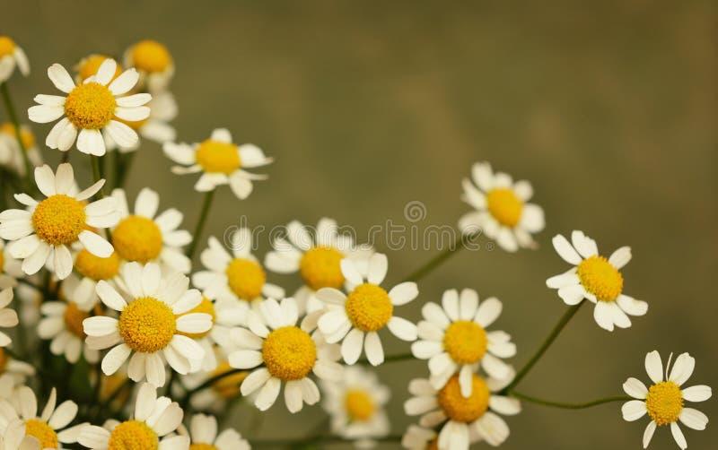 Stokrotka mali kwiaty zdjęcia royalty free