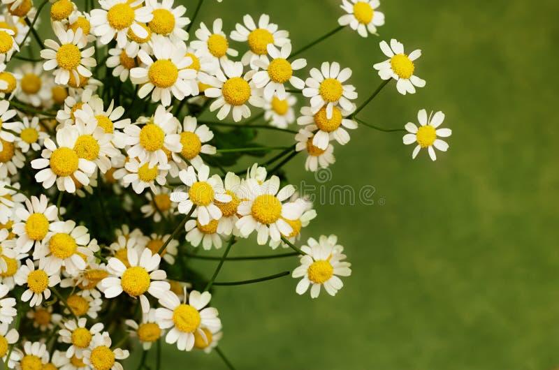 Stokrotka mali kwiaty fotografia royalty free
