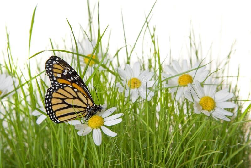 stokrotka motyli kwiat zdjęcie stock