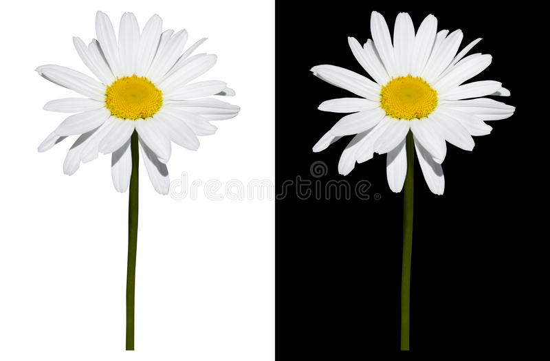 Stokrotka odizolowywająca na białym i czarnym tle zdjęcia stock