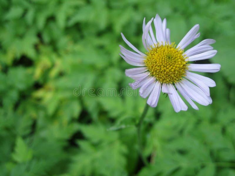 Stokrotka w kwiacie zdjęcie royalty free