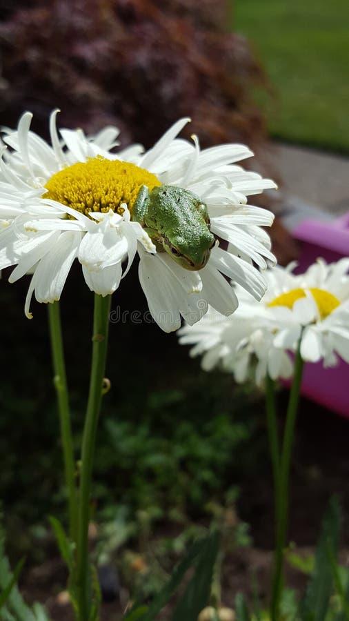 Stokrotki żaba fotografia royalty free