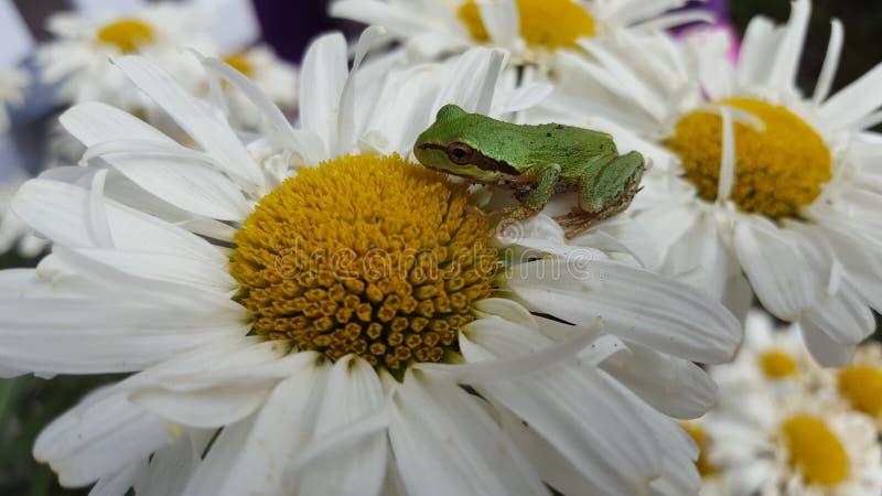 Stokrotki żaba zdjęcie royalty free