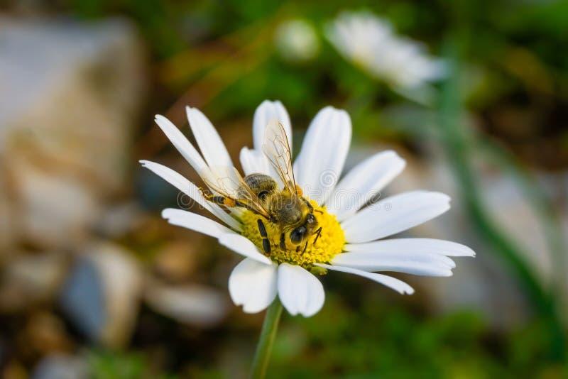 Stokrotki chamomile kwiat Miodowej pszczoły zbieracki pollen i nektar od stokrotki obrazy royalty free