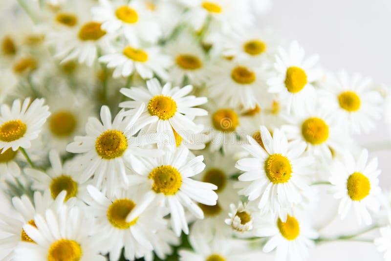 Stokrotki chamomile kwitnie na białym tle Lata t?o Selekcyjna ostro?? z bliska zdjęcia royalty free