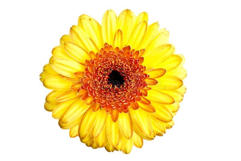 stokrotki gerber kolor żółty fotografia royalty free