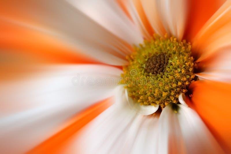 stokrotki kwiatu gerber pomarańczowy biel obraz stock