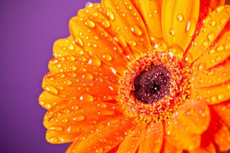 stokrotki kwiatu gerbera pomarańcze purpury obrazy stock